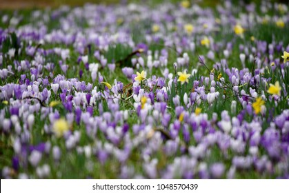 Narcissi and crocuses in this beautiful mix of spring colours