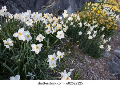 Narcissi and daffodil display in Botanical Garden at Milde, Bergen, Norway