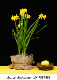 Narcissi flowers in pot wrapped with sackcloth and tied with twine thread placed near nest with big yellow Easter egg on wooden yellow surface isolated on black background. Easter holiday concept