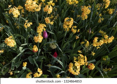 Narcissue, daffodils, spring perennial plant. Often sold for fundraising to finance cancer research. Medically used to treat Alzheimer's disease, however the plant contains lycorine, and are toxic,