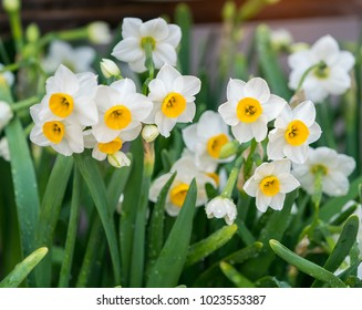 narcissus blooming in spring