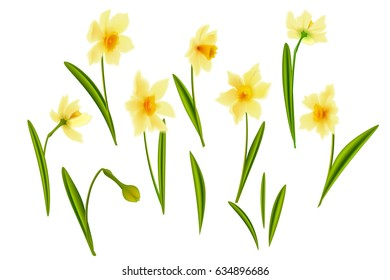 Narcissus. Collection lovely daffodils. Spring flowers for your design realistic flowers. On a white background.