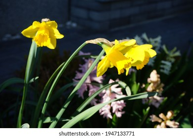 """Narcissus """"Dutch Master"""" in the garden in March. Berlin, Germany"""