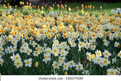 Narcissus field in bloom on spring, many narcissus flowers blooming in garden