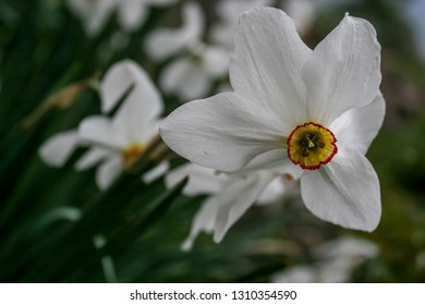 Narcissus flower. Beautiful spring flowers daffodils. Bright blooming white daffodils . Spring daffodils. Beautiful white yellow daffodils. Narcissus group on garden, daffodil bloom in spring time.