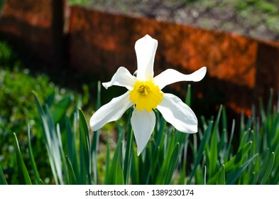 Narcissus flower. Narcissus daffodil flowers. Background Daffodil narcissus with yellow buds and green leaves