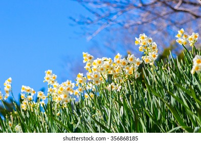narcissus flower at hota area chiba,tourism of japan
