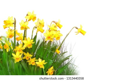 Narcissus flower isolated on white background. spring season. beautiful spring background with Narcissus flower. design element for March 8 holiday, spring holiday, Easter. copy space