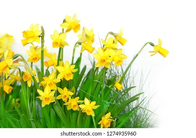 Narcissus flower on white background. spring season. beautiful spring background with Narcissus flower. design element for March 8 holiday, spring holiday, Easter. copy space