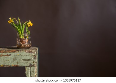Narcissus flower with onion. Narcissus flower with onion immersed in water. Narcissus flower card. Easter nascissus card. Spring narcissus card.