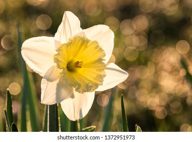 Narcissus flower (Narcissus poeticus). Narcissus daffodil flowers. Backlighted blooming pheasant´s eye daffodil - narcissus poeticus flower, selective focus, background bokeh.