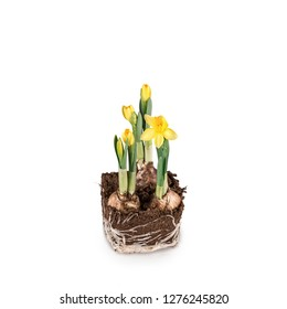 Narcissus flower with roots and soil isolated on white background with garden tools