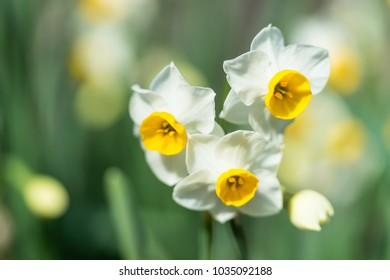 Narcissus flower in winter