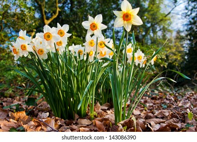 narcissus flowers.