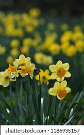Narcissus Flowers Close up