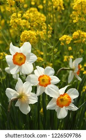Narcissus flowers (Daffodil)