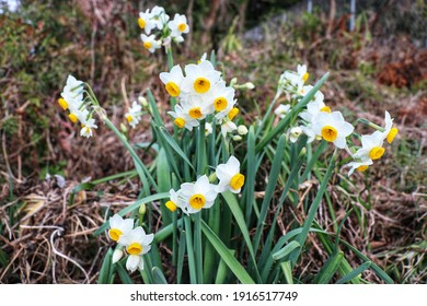 Narcissus flowers flower bed with drift yellow. White double daffodil flowers narcissi daffodils. Narcissus flower also known as daffodil, daffadowndilly, narcissus, and jonquil.
