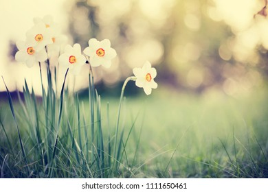 Narcissus  flowers and green grass background in summer sunlights