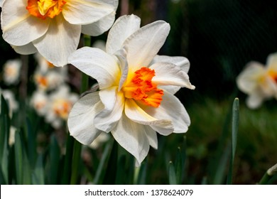 Narcissus flowers in white and yellow