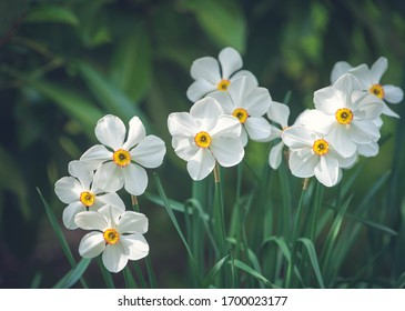 Narcissus flowers with yellow drift in sunny day.
