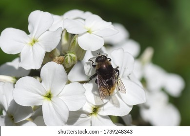 Narcissus fly, Greater bulb fly (Merodon equestris) of the family hoverflies (Syrphidae) on flowers of dame's rocket (Hesperis matronalis) of the family Brassicaceae. In spring in a Dutch garden.