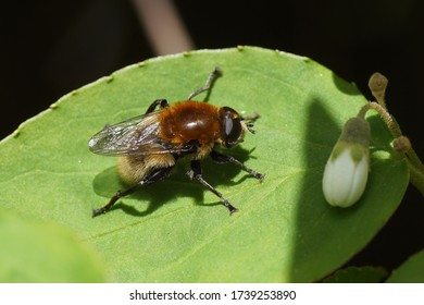 Narcissus fly, Greater bulb fly (Merodon equestris) of the family hoverflies (Syrphidae) on a leaf of a Deutzia of the family Hydrangeaceae. In spring in a Dutch garden.