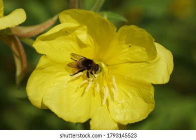 Narcissus fly, Greater bulb fly (Merodon equestris) of the family hoverflies (Syrphidae) on a flower of common evening-primrose (Oenothera biennis) of the evening primrose family (Onagraceae).