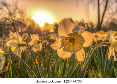 The narcissus (Narcissus) form a plant genus in the subfamily of Amaryllidoideae within the family Amaryllis (Amaryllidaceae). Concept: flowers and plants or springtime