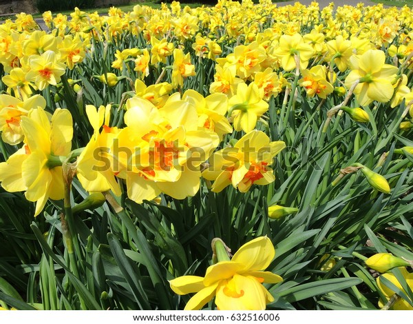 Narcissus in full bloom at spring time
