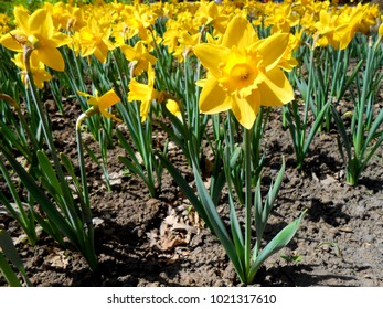Narcissus is a genus of perennial herbaceous bulbiferous geophytes, dying back after flowering to an underground storage bulb, having a single central leafless hollow flower stem (scape).