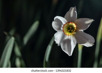 Narcissus on a dark background. Narcissus flower closeup. Buds of white narcissus flower, green stalks and leaves. Narcissus flowers and green leaves background.