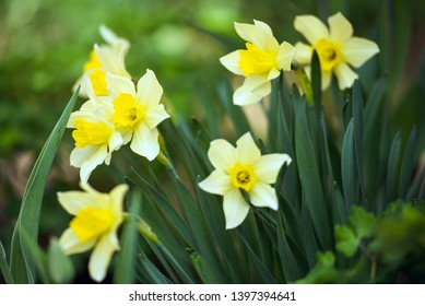 Narcissus on the flowerbed in the spring.