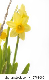 Narcissus plant in front of a white background