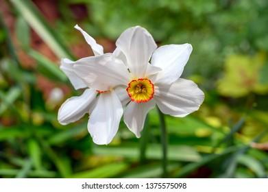 Narcissus poetics, or Pheasant's eye narcissus