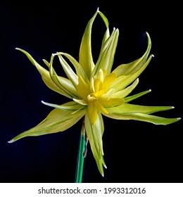 Narcissus Rip Van Winkle in bloom on black backgroud