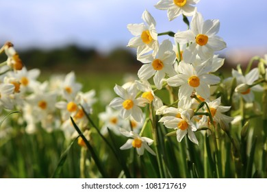 Narcissus, spring flowers
