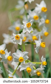 Narcissus tazetta (bunch flowered daffodil)