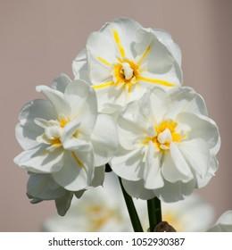Narcissus Tazetta Cheerfulness, daffodils in spring
