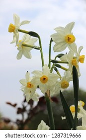 Narcissus tazetta. Paperwhite, bunch-flowered narcissus, bunch-flowered daffodil, Chinese sacred lily, cream narcissus, joss flower, or polyanthus narcissus