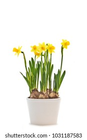 Narcissus 'Tete a Tete' (Cyclamineus daffodil) isolated with a white background.