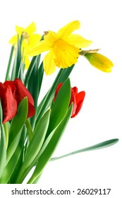 Narcissus and tulips on white background.