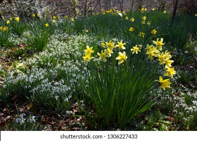 Narcissus yellow daffodils and Galanthus nivilis Snowdrops in woodlands in Devon in March