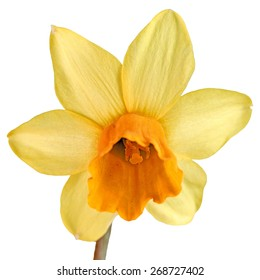 narcissus yellow on white background