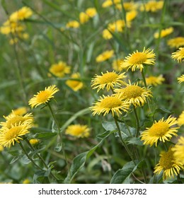 Nard, bright yellow flowers closeup. Bright summer card.