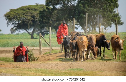 NAROK COUNTY, MAASAI MARA NATIONAL RESERVE, KENYA - 2016. Two Male Shepherds of the Nomadic African Masai Tribe drive their Herd of Cattle towards new Pastures