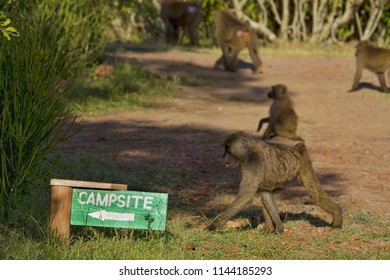 Narok - Kenya / December 2017: Baboon troop invading the campsite in searching for food, they can steal anything from fruits, nuts, sugar or even Soap bars!