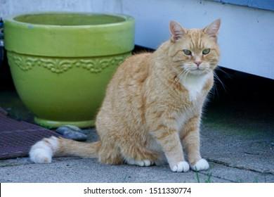 Narragansett, RI/USA- September 22, 2019: A horizontal image of an orange tabby adult cat sitting beside a green ceramic flower pot outside a summer beach cottage.