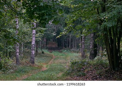 Narrow dirt road crossing deciduous stand of Bialowieza Forest with birch trees next to in summer, Bialowieza Forest, Poland, Europe