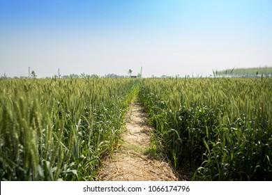 a narrow dirt way between wheat fields in punjab, inda
