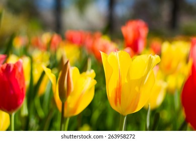 Narrow focus view of a yellow tulip in a field of vibrant flowers